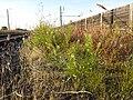 Lepidium virginicum (subsp. virginicum) sl5.jpg