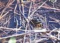 Leptodactylus ocellatus03a.jpg
