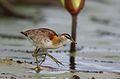 Lesser Jacana, Microparra capensis, Chobe River, Botswana (32213978655).jpg