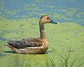 Lesser Whistling Duck Thailand.jpg