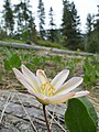 Lewisiopsis tweedyi (Lewisia tweedyi) near Blewett Pass summit.jpg