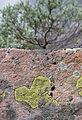 Lichen (4818828299).jpg