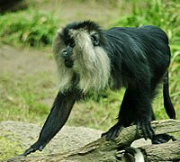 Lightmatter lion-tailed macaque