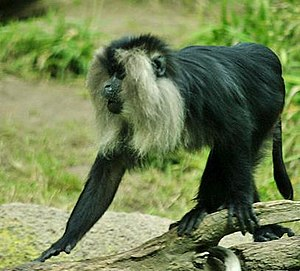 Lion-tailed Macaque, endemic to the Western Gh...