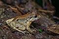 Limnonectes blythii, Blyth's river frog (subadult) - Khao Sok National Park (29707221921).jpg