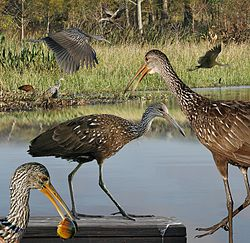 Limpkin From The Crossley ID Guide Eastern Birds.jpg