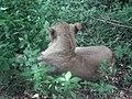 Lion from Bannerghatta National Park 8485.JPG