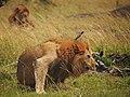Lions @ Maasai Mara (20197557903).jpg