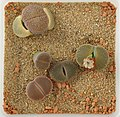 Lithops Collection - Top view - Feb. 2011 - (1).jpg