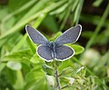 Little Blue Cupido minimus, male (44917611375).jpg