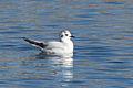 Little Gull (Hydrocoloeus minutus) (13667531223).jpg