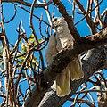 Little corella at Boulia Wildlife Haven Herbert St Boulia Queensland P1030438.jpg