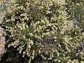 Littleleaf creambush, Holodiscus microphyllus (42218844745).jpg