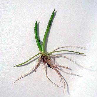 Littorella - Littorella uniflora
