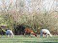 Llamas by Chestnut Farm - geograph.org.uk - 328703.jpg