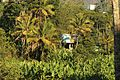 Local Coconut trees.jpg
