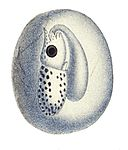 Loligo vulgaris embryo2.jpg