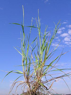 Lolium rigidum - Image: Lolium rigidum plant 1 (6919856709)