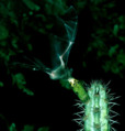 Lonchophylla mordax em Pilosocereus tuberculatus EARMLucena2007-2.png
