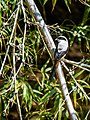 Long-tailed Shrike (23542360153).jpg
