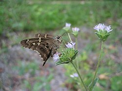 Long-tailed Skipper Butterfly (Urbanus proteus) 1.JPG