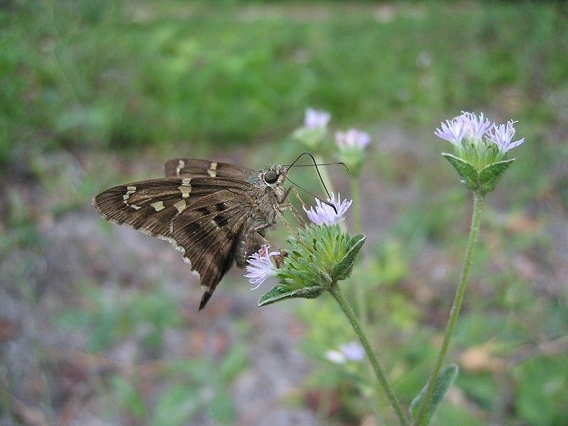 File:Long-tailed Skipper Butterfly (Urbanus proteus) 1.JPG