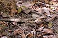 Long-tailed nightjar (Caprimulgus climacurus climacurus) male.jpg