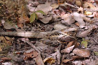 Long-tailed nightjar species of bird