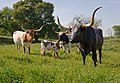 Longhorn cattle grazing. (24484473003).jpg