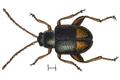 Longitarsus holsaticus.png