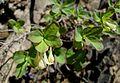 Lonicera utahensis (Utah honeysuckle) - Flickr - brewbooks (2).jpg