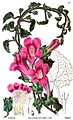 Lophospermum erubescens by Robert Sweet.jpg