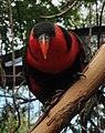 Lorius lory -Cincinnati Zoo, Ohio, USA-8a (1).jpg
