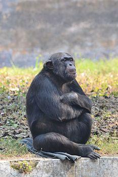Lucknow zoo Chimpanzee.jpg