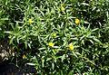 Ludwigia grandiflora kz1.jpg