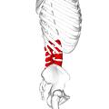 Lumbar vertebrae lateral3.png