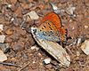 Lycaena thersamon male 1.jpg
