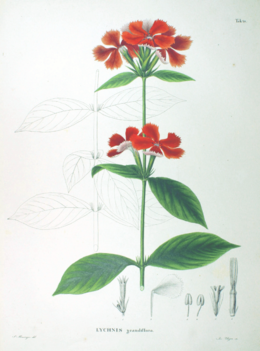 Lychnis grandiflora SZ48