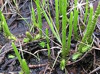 Lycopodiella appressa.jpg