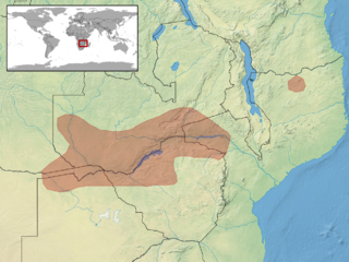 Okavango dwarf gecko