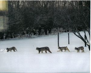 Lynx family photographed at the Nykiforuk farm...