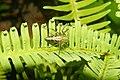 Lynx spider 9445.jpg