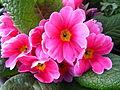 März 2014 Primel pink.JPG