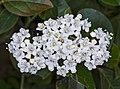MHNT Viburnum tinus.jpg