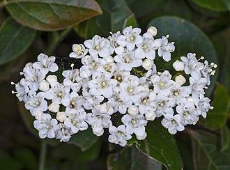 Viburnum tinus - Image: MHNT Viburnum tinus
