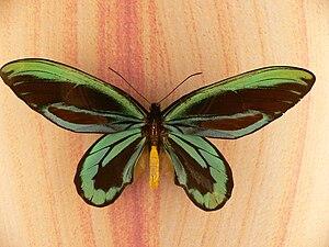 Insect biodiversity - Queen Alexandra's birdwing (Ornithoptera alexandrae) of Papua New Guinea