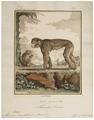 Macacus ecaudatus - 1700-1880 - Print - Iconographia Zoologica - Special Collections University of Amsterdam - UBA01 IZ20000065.tif