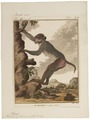 Macacus erythraeus - 1700-1880 - Print - Iconographia Zoologica - Special Collections University of Amsterdam - UBA01 IZ20000077.tif