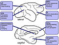 Macaque brain areas known to be involved in social functions.jpg