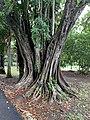 Macassar oil tree at Sir Seewoosagur Ramgoolam Botanical Garden.jpg